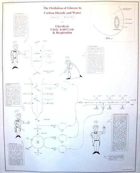 Citric Acid Cycle Poster, by Eric Spears
